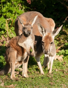 Kangaroo Joey Isa and mom Charlotte by Mark M. Gaskill