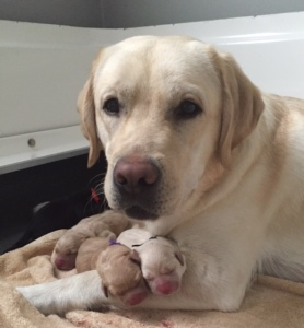 Leader Dog Mom Willow and her puppies (Photo credit: Leader Dogs for the Blind)